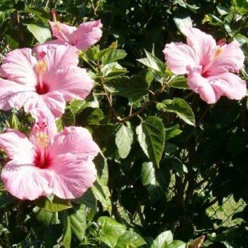 Гибискус Бледно-розовый-1