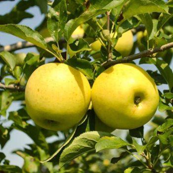 Яблоня Голден-1