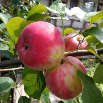 Яблоня Анис алый-1