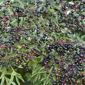 Бузина чёрная Лациниата (Laciniata)-1