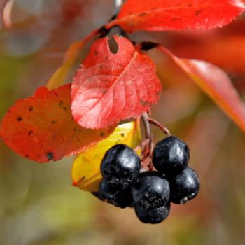 Черноплодная Рябина Рубина-2