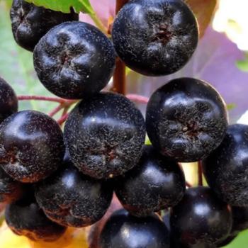 Черноплодная Рябина Рубина-1