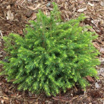 Ель сербская Picea omorika-2