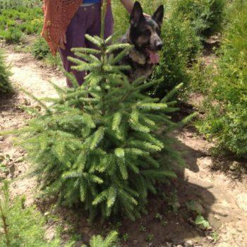 Ель сербская Picea omorika-1
