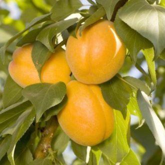 Гибрид колоновидный слива-абрикос Априум