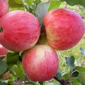 Яблоня Розовый налив-1