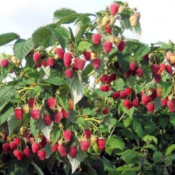 Малиновое дерево Таруса-2