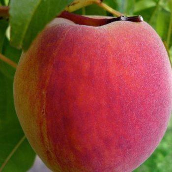 Персик - слива Инка-1