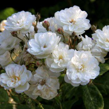 Роза английская «Франсин Остин»-1