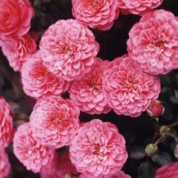Роза миниатюрная «Амулет»-1