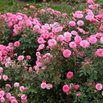 Роза миниатюрная «Амулет»-2