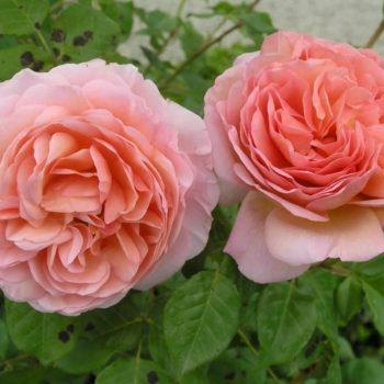 Роза английская Абрахам Дэрби-1