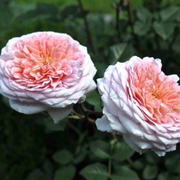 Роза английская Абрахам Дэрби-2