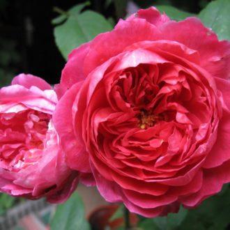Роза английская Бенджамин Бритен