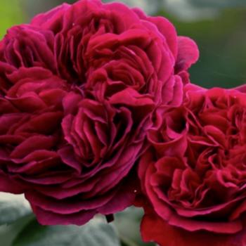 Роза английская Дарк Леди-1