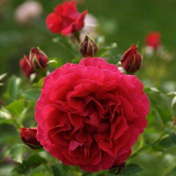 Роза английская Дарк Леди-2