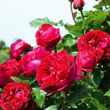 Роза английская Эрик Таберли-1
