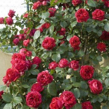 Роза английская Эрик Таберли-2