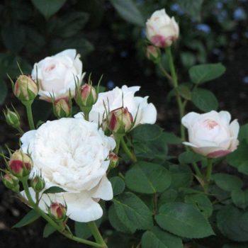 Роза английская Файер Бьянка-2