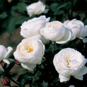 Роза английская Файер Бьянка-1