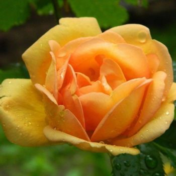 Роза плетистая «Голден Клаймбер»-1