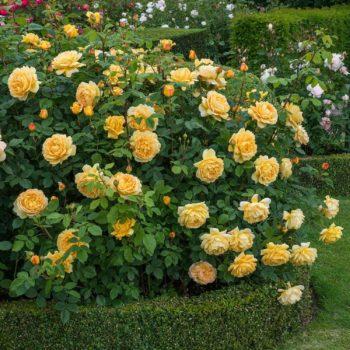 Роза английская Голден Селебрейшен-1