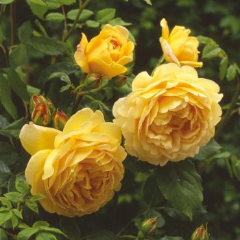 Роза английская Голден Селебрейшен-2