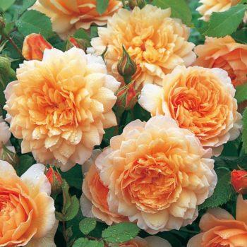 Роза английская Грейс-1