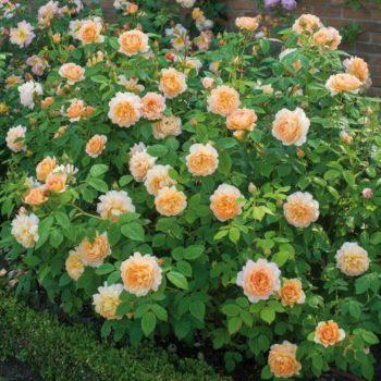 Роза английская Грейс-2