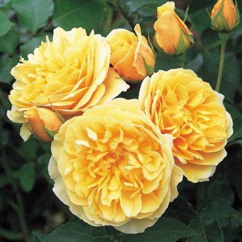 Роза английская Грэхэм Томас-1