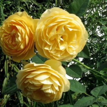 Роза английская Грэхэм Томас-2