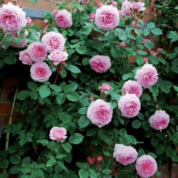 Роза английская Джеймс Галвей-1