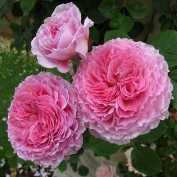 Роза английская Джеймс Галвей-2