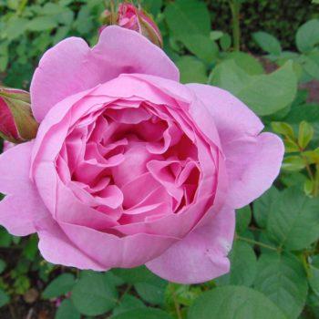 Роза английская Мэри Роуз-1