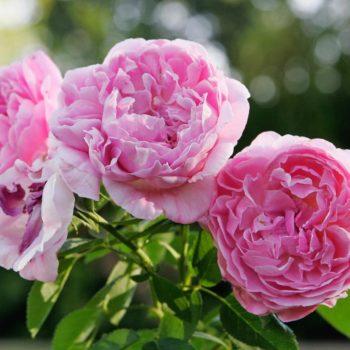 Роза английская Мэри Роуз-2