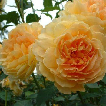 Роза английская Мулинекс-2