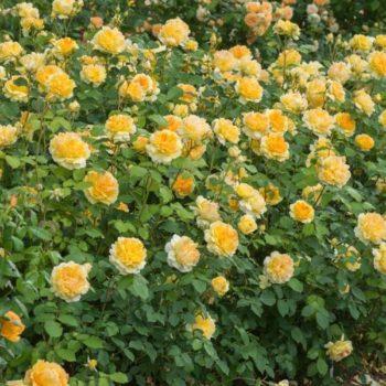 Роза английская Мулинекс-1