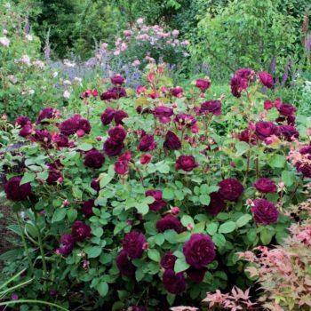 Роза английская Манстед Вуд-1