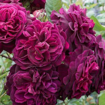 Роза английская Манстед Вуд-2