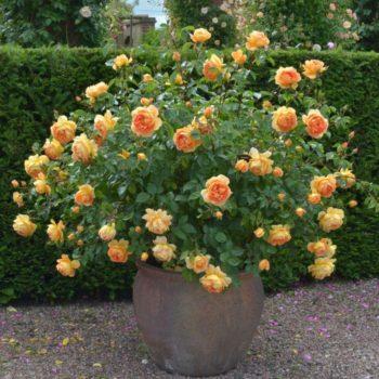 Роза английская Пэт Остин-2