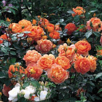 Роза английская Пэт Остин-1