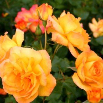 Роза английская Сахара-1