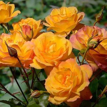 Роза английская Сахара-2