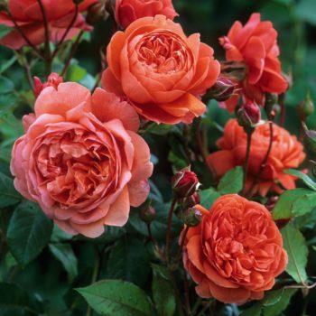 Роза английская Саммер Сонг-1