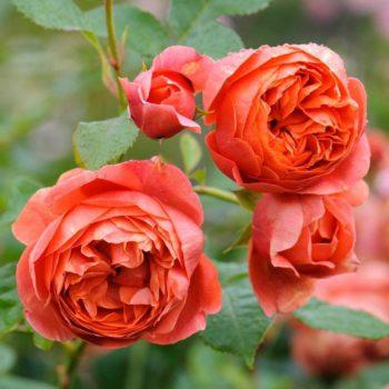 Роза английская Саммер Сонг-2
