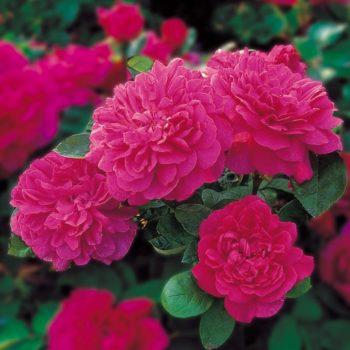 Роза английская Софи Роуз-1