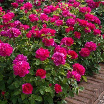 Роза английская Софи Роуз-2
