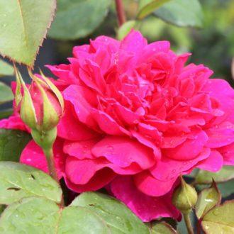 Роза английская Софи Роуз