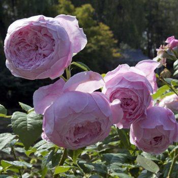 Роза английская Спирит оф Фридом-1
