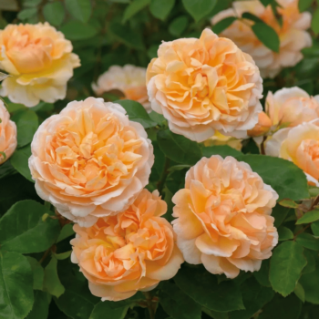Роза английская Зе Леди Гарденер-1